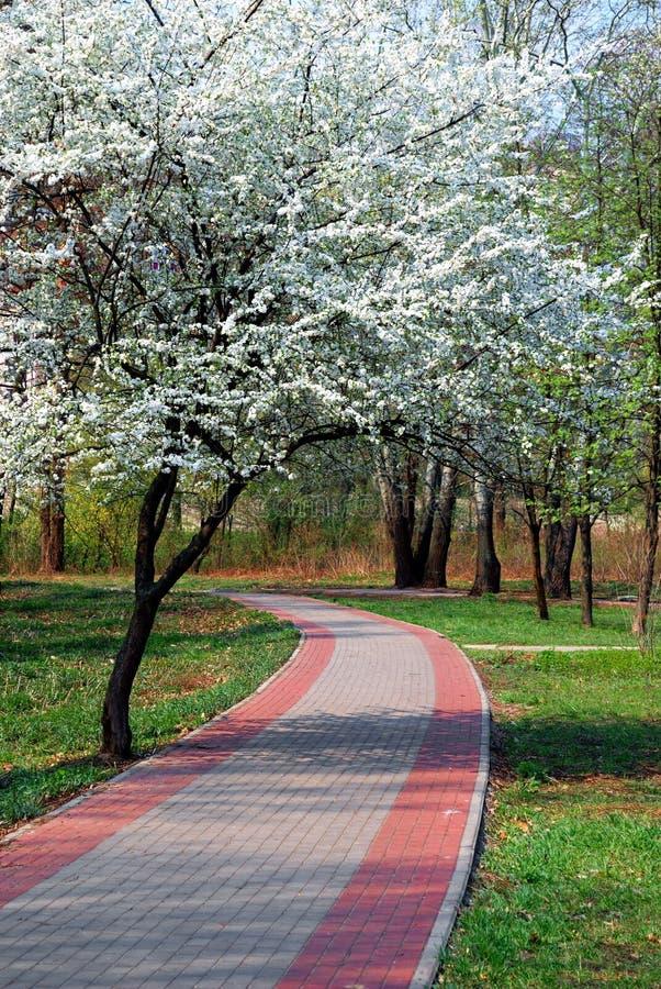 kwitnący wiśni parka drzewo zdjęcie royalty free