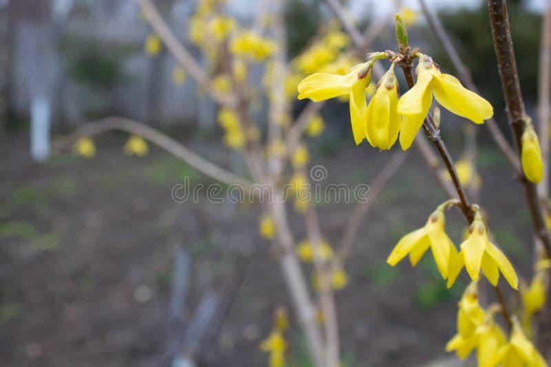 Kwitnący wiosna koloru żółtego drzewo W górę światła dziennego chmurzącego w zdjęcie royalty free