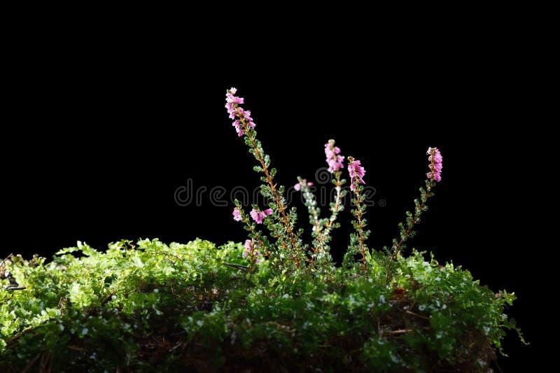 Kwitnący wrzosu Calluna vulgaris obrazy royalty free