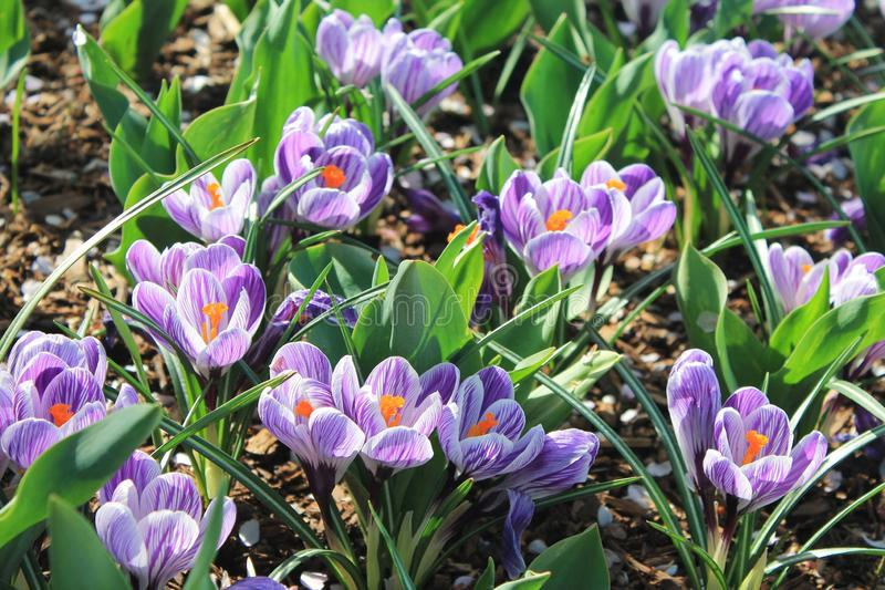 Kwitnących purpurowych krokusów kwiatów wiosny plenerowy wczesny ogród fotografia stock