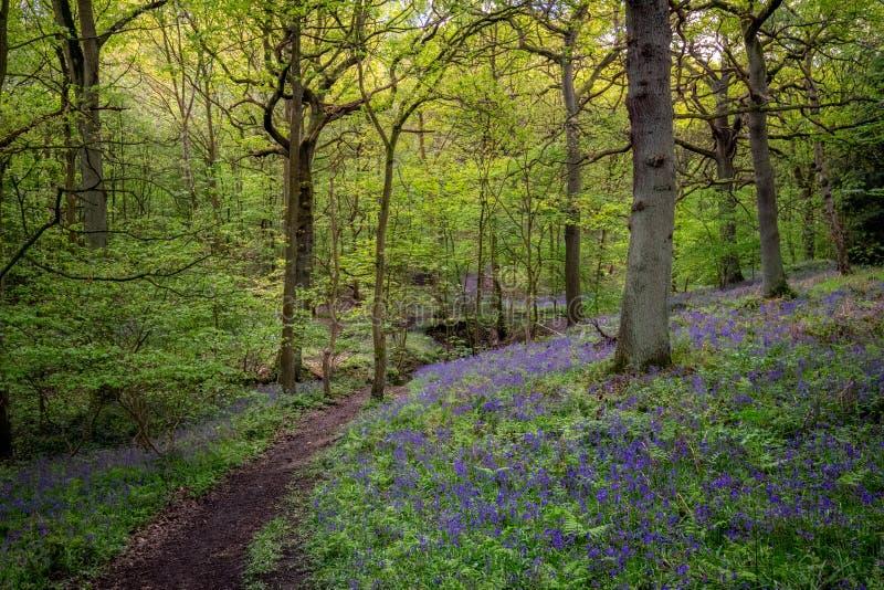 Kwitn?cy Bluebells kwiat w wio?nie, Zjednoczone Kr?lestwo obrazy royalty free