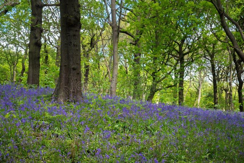 Kwitn?cy Bluebells kwiat w wio?nie, Zjednoczone Kr?lestwo fotografia stock