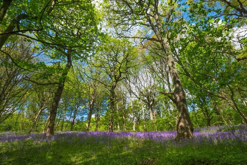 Kwitn?cy Bluebells kwiat w wio?nie, Zjednoczone Kr?lestwo fotografia royalty free
