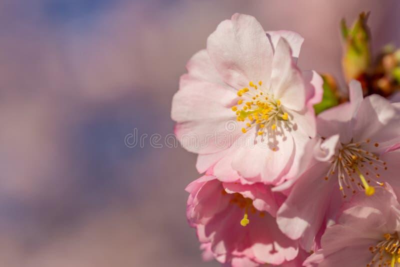 Kwitn?cy czere?niowy drzewo w wio?nie kwiaty r??owi? wiosna zdjęcia stock