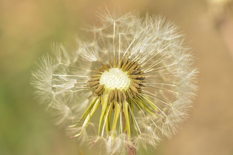 Kwitn?cy dandelion w naturze r od zielonej trawy Stary dandelion zbli?enie ro?liny zdjęcie stock