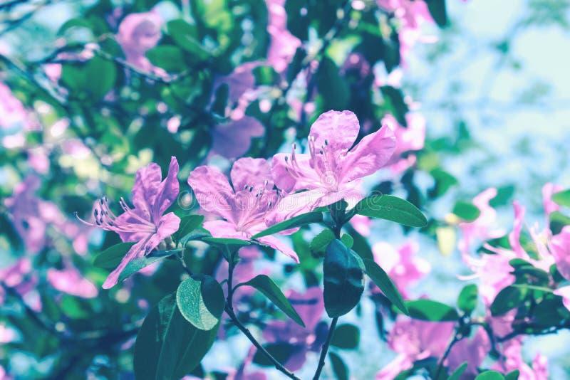 Kwitn?cy drzewo kwitnie w r??owym wiosna sezonie natury pi?kno Wiosna kwiatu krajobraz Kwiecisty natury tło, bezpłatna przestrzeń zdjęcie stock