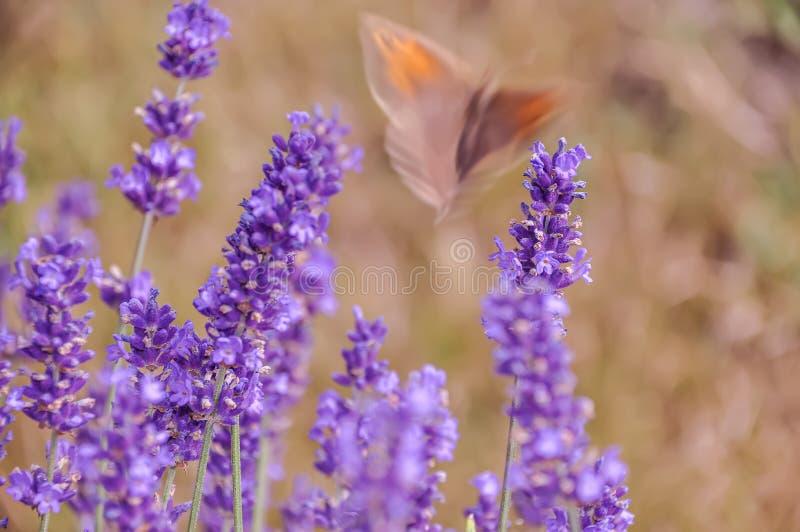 Kwitn?cy purpurowi lawenda kwiaty i zielona trawa w polach lub ??kach Rozmyty motyl w lecie r?wno fotografia stock