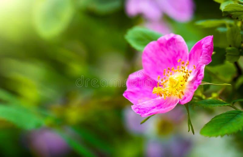 Kwitn?cy r??owy eglantine wiosny dzie? zdjęcie royalty free