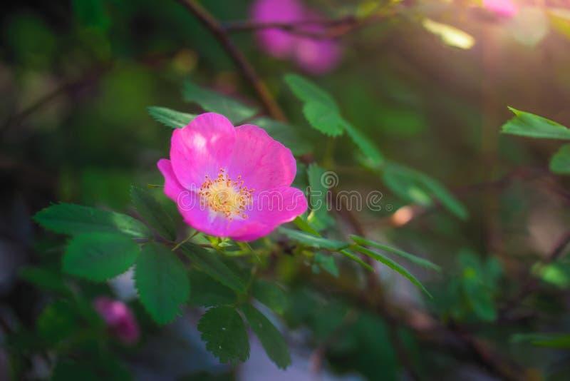 Kwitn?cy r??owy eglantine wiosny dzie? zdjęcia stock