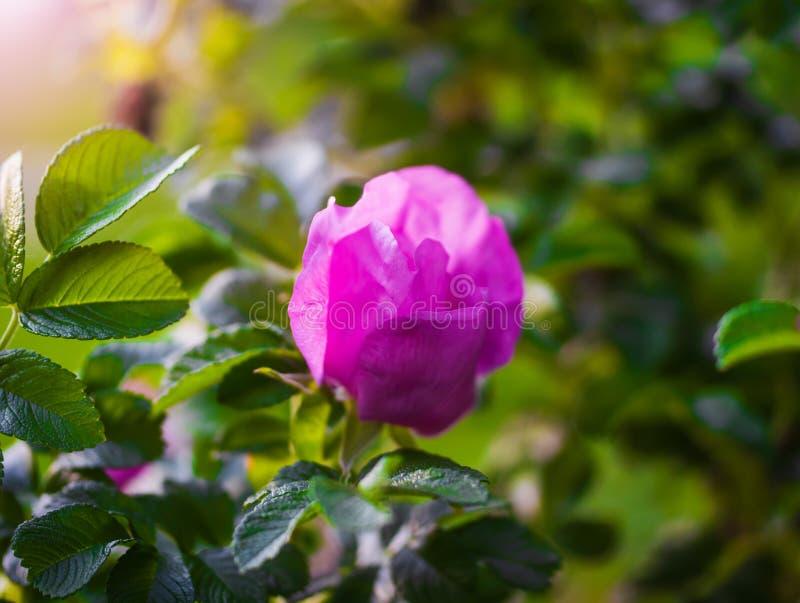 Kwitn?cy r??owy eglantine wiosny dzie? zdjęcia royalty free