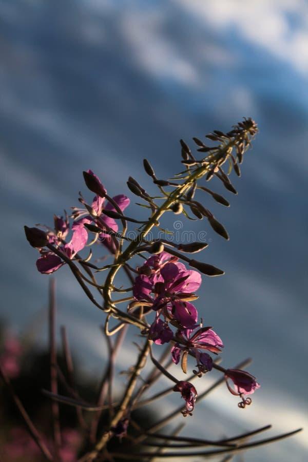 Kwitn?cy Sally lub fireweed pi?knych r??owych kwiat?w w lecie uprawia ogr?dek obraz stock