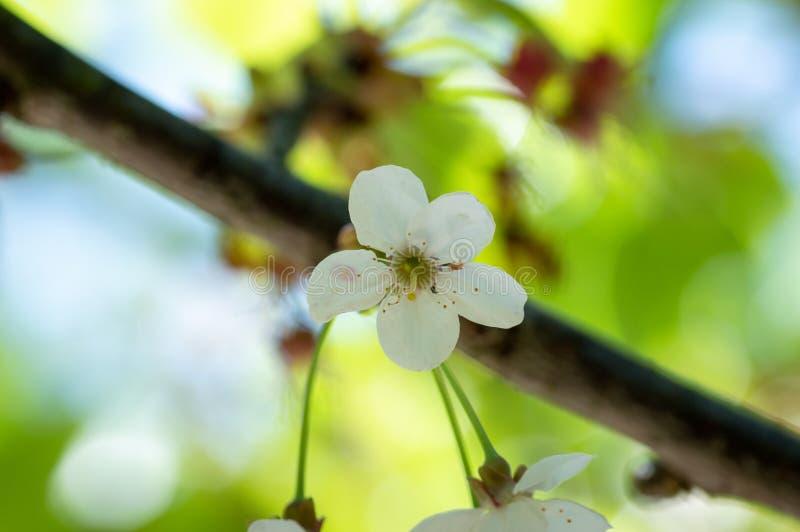 Kwitn?? czere?niowi kwiaty w wiosna czasie z zieleni? opuszcza, makro-, rama zdjęcie royalty free