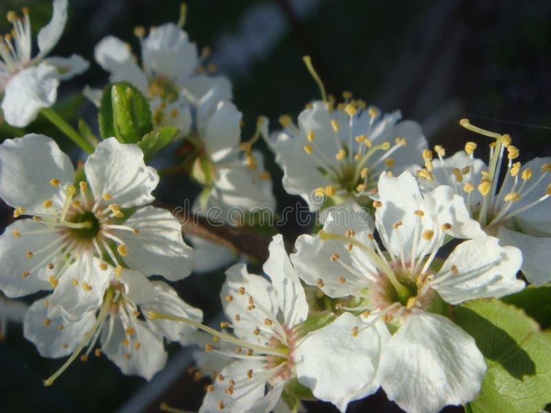 Kwitn?? czere?niowi kwiaty w wiosna czasie z zielonymi li??mi, naturalny kwiecisty sezonowy t?o fotografia royalty free