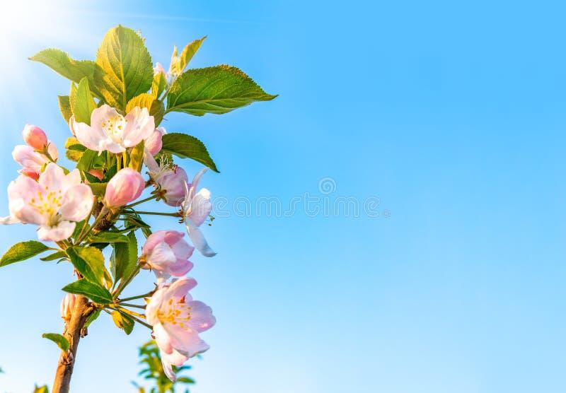 Kwitn?? jab?oni przeciw niebieskiemu niebu t?a natury przestrzeni wiosna tekst tw?j obraz royalty free