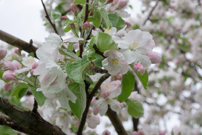 Kwitn?? jab?onie Natura w Tekeli Wiosna kazakhstan obraz royalty free