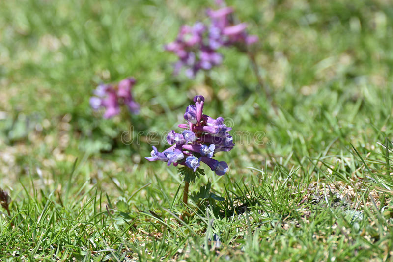 kwitnie łąkową wiosna zdjęcie royalty free