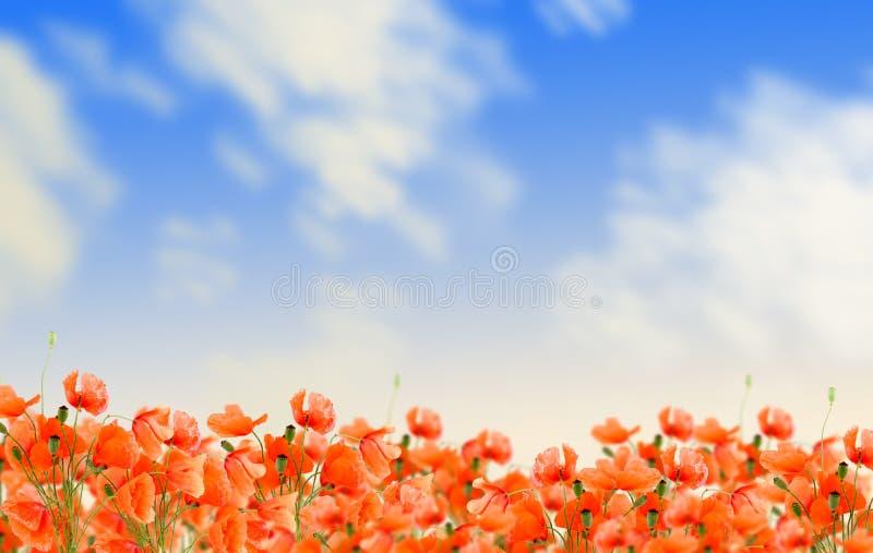 kwitnie łąkowego maczka zdjęcia royalty free