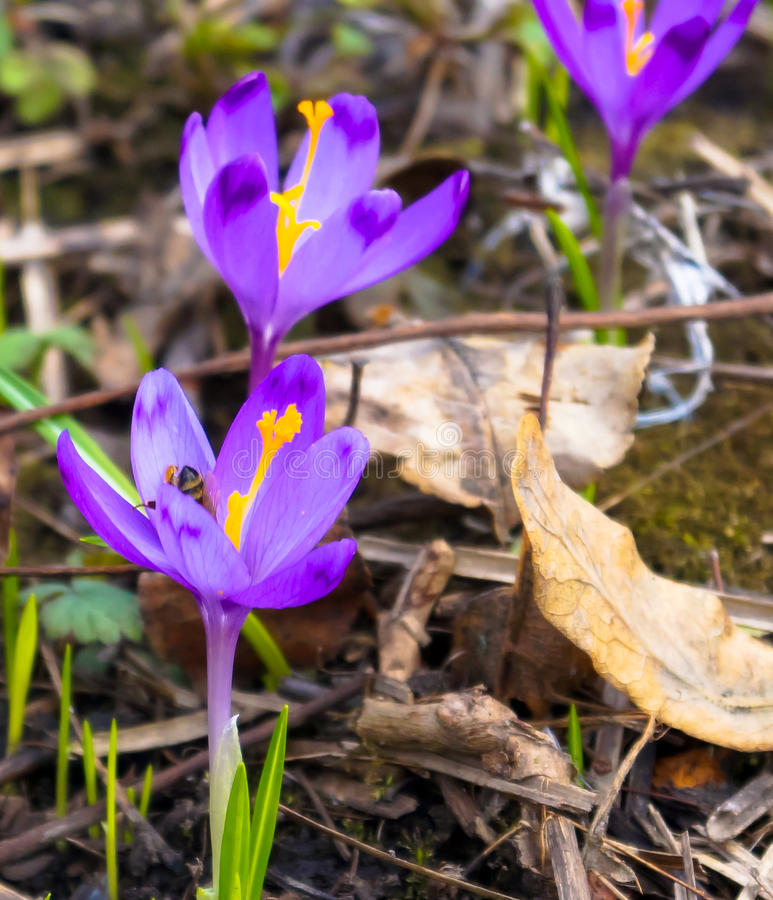 Kwitnie łąkowych krokusy w drewnach fotografia stock
