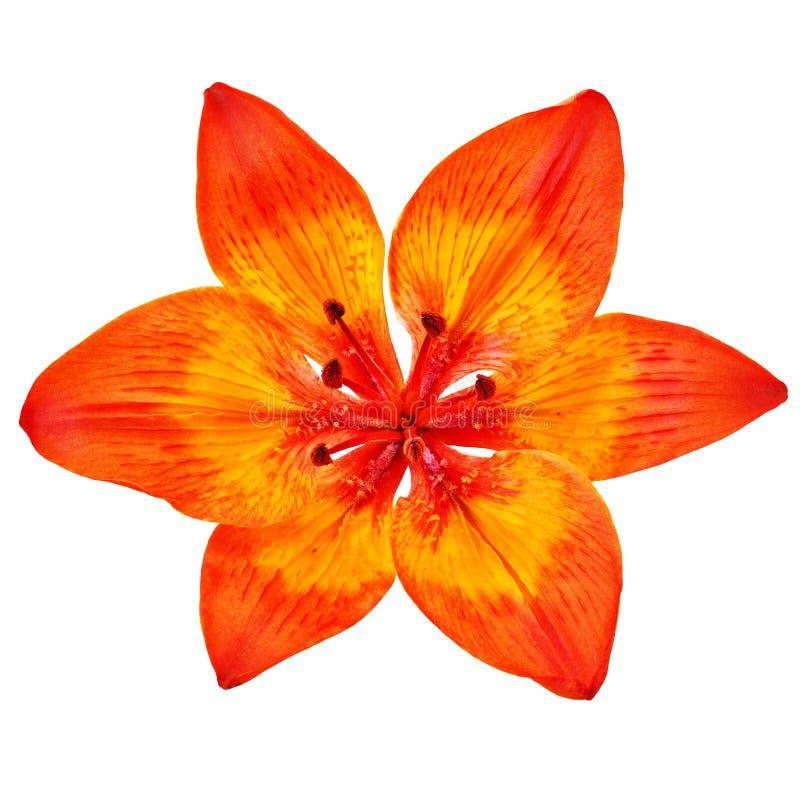 Kwitnie żółtej czerwonej lelui odizolowywającej na białym tle Zakończenie fotografia royalty free