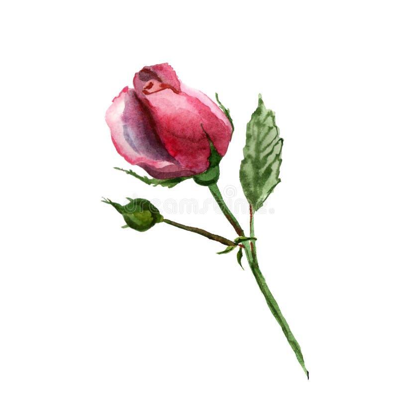 Kwitnie akwareli ilustracj? Czuły różowy Rosa na białym tle ilustracji