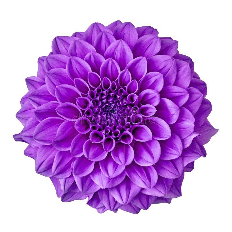 Kwitnie ametystowej purpurowej dalii odizolowywającej na białym tle z ścinek ścieżką Zakończenie obraz stock