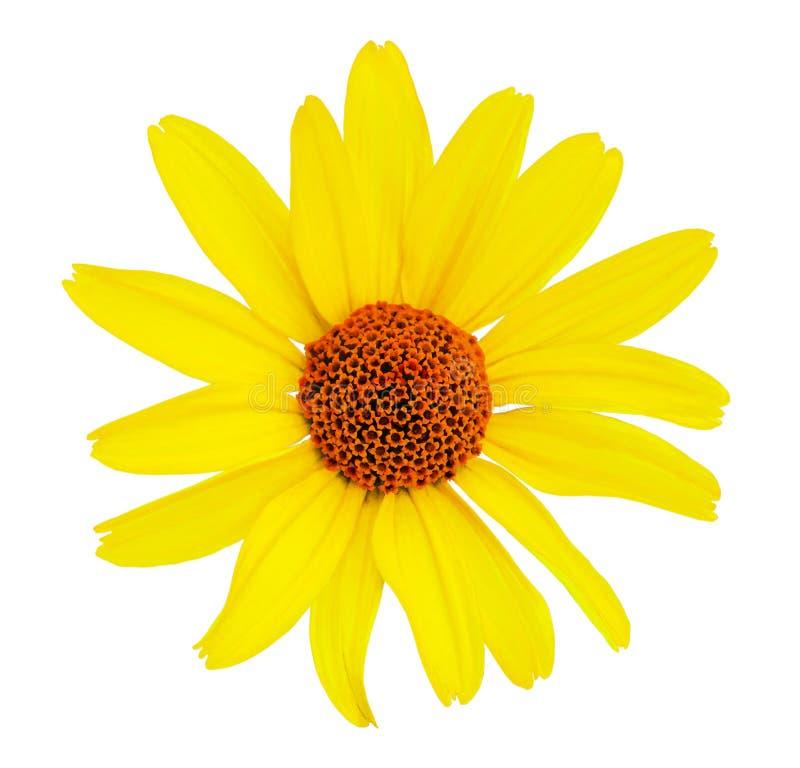 Kwitnie, biały odosobniony tło z ścinek ścieżką Żadny cienie Zbliżenie bez cieni Kolor żółty, czerwień fotografia stock