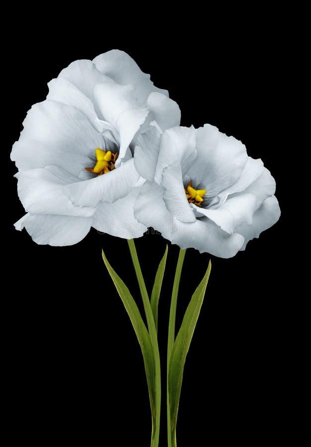 kwitnie białych eustomas na czarnym odosobnionym tle z ścinek ścieżką Kwiaty na badylu z zielonymi liśćmi Zako?czenie zdjęcie stock