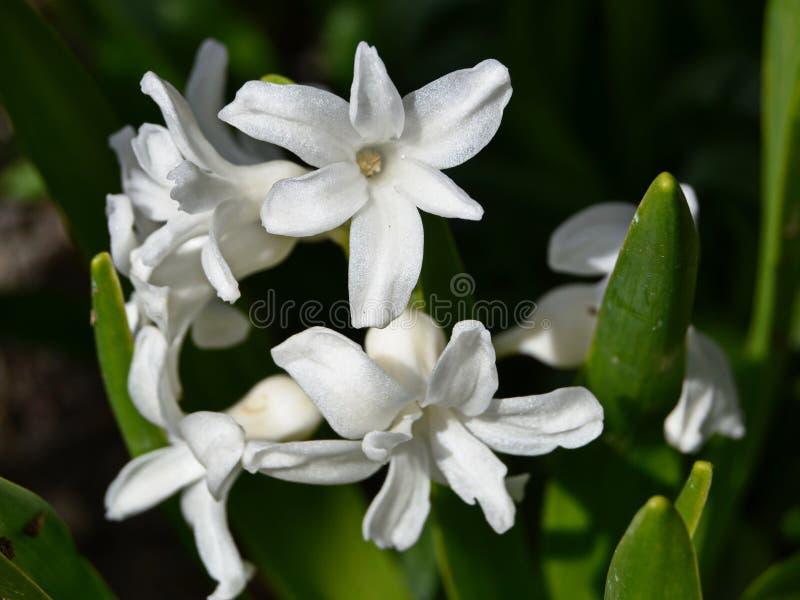 kwitnie białych hiacynty na ciemnym tle obraz stock