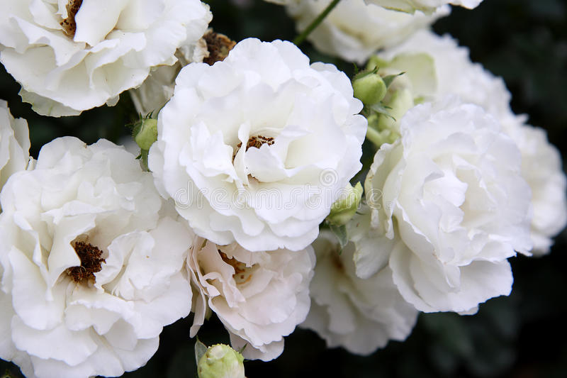 kwitnie biel fotografia royalty free