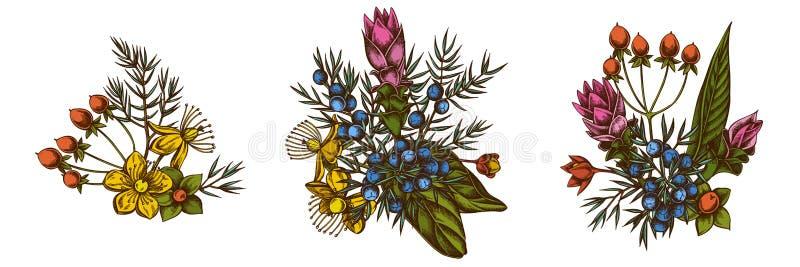 Kwitnie bukiet barwiony jałowiec, hypericum, turmeric ilustracja wektor