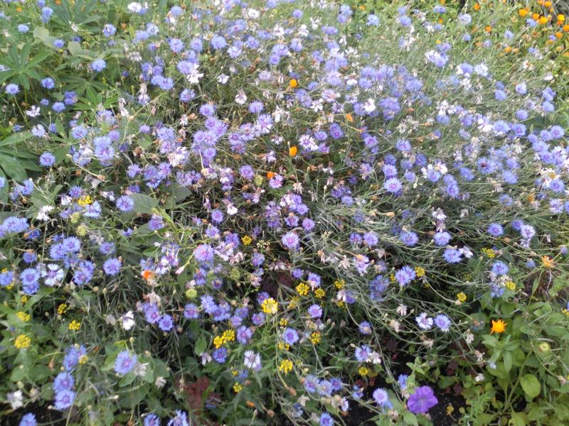 Kwitnie cornflowers zdjęcie royalty free