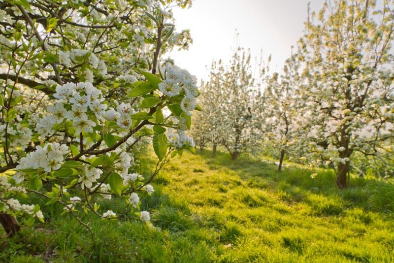 kwitnie czereśniową wiosna fotografia stock