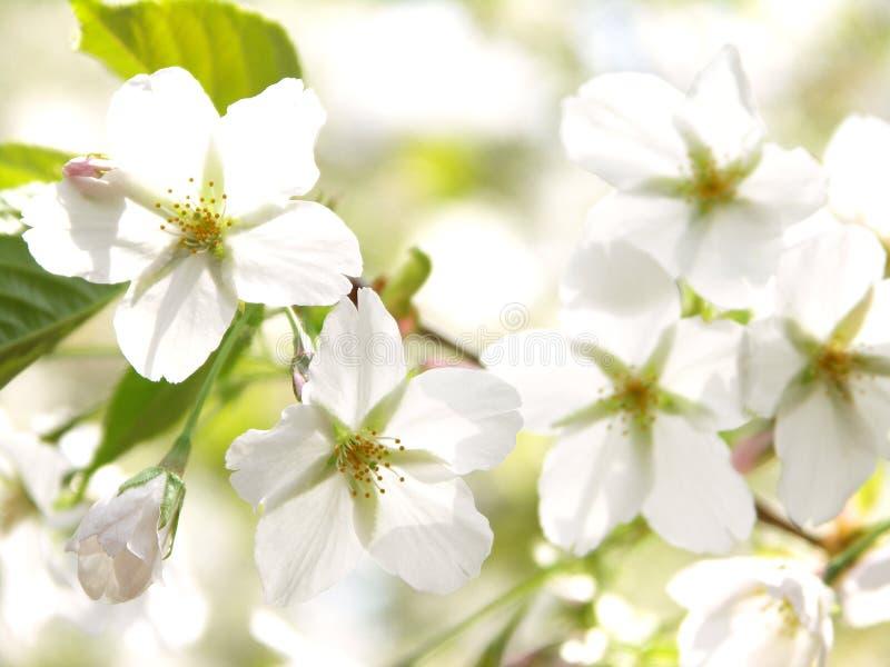 Download Kwitnie czereśniowego biel zdjęcie stock. Obraz złożonej z biały - 13332842
