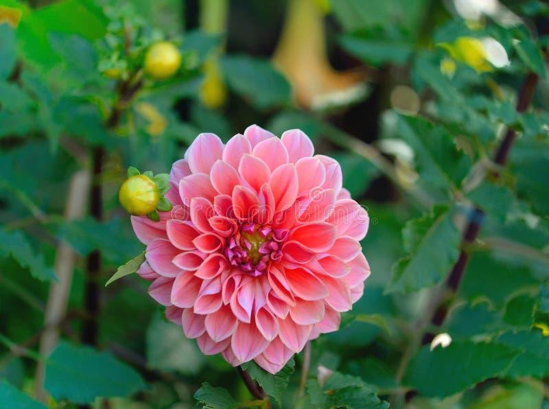 kwitnie dalie fotografia stock