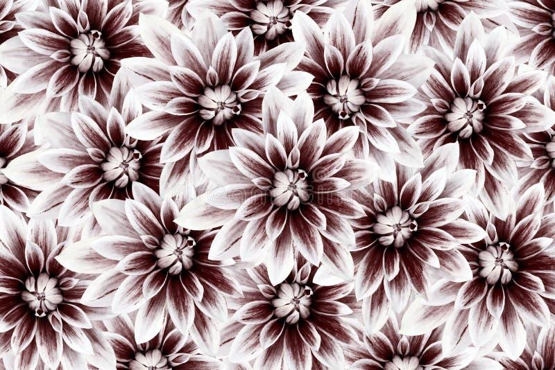 Kwitnie dalie vinous banner tła kwiaty form różowego spiralę trochę kwiecisty kolaż tła składu powoju kwiatu tulipany biały royalty ilustracja