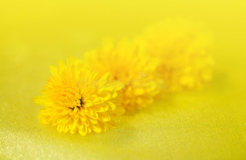Kwitnie dandelion zdjęcie royalty free