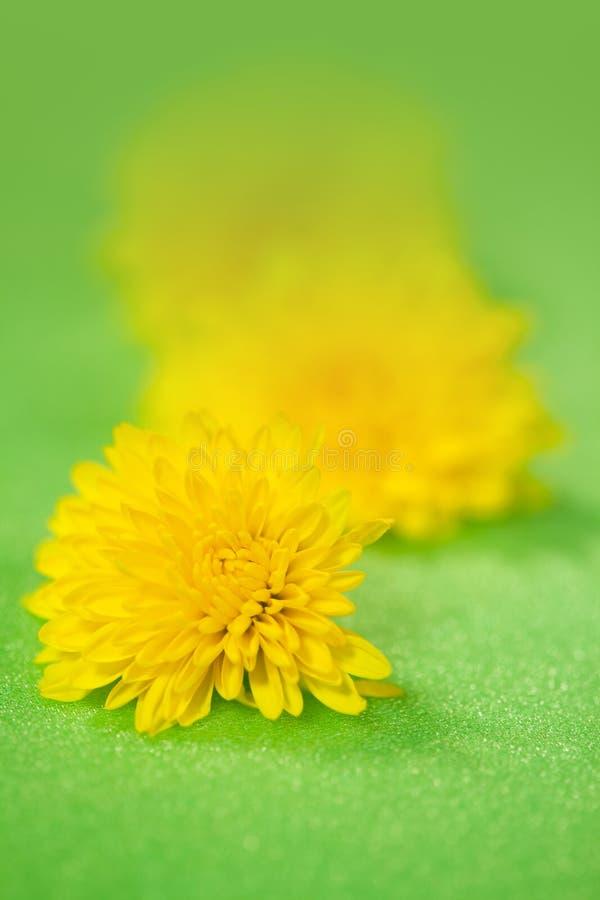 Kwitnie dandelion zdjęcie stock