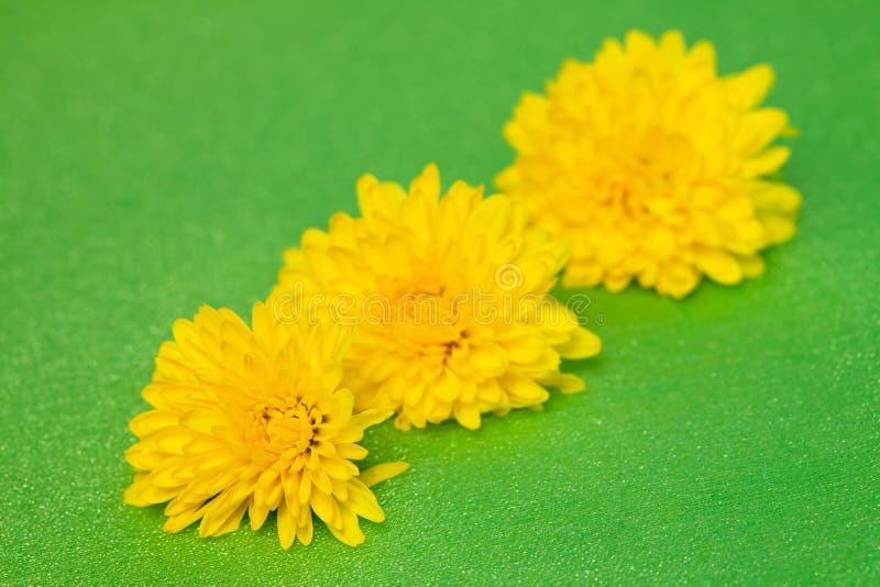 Kwitnie dandelion obrazy stock