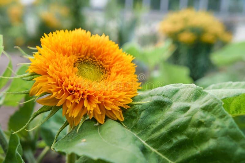 Kwitnie dekoracyjnego słonecznika obraz royalty free
