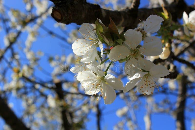 Kwitnie drzewa, ogr?d, biali kwiaty, przeciw niebu zdjęcia stock