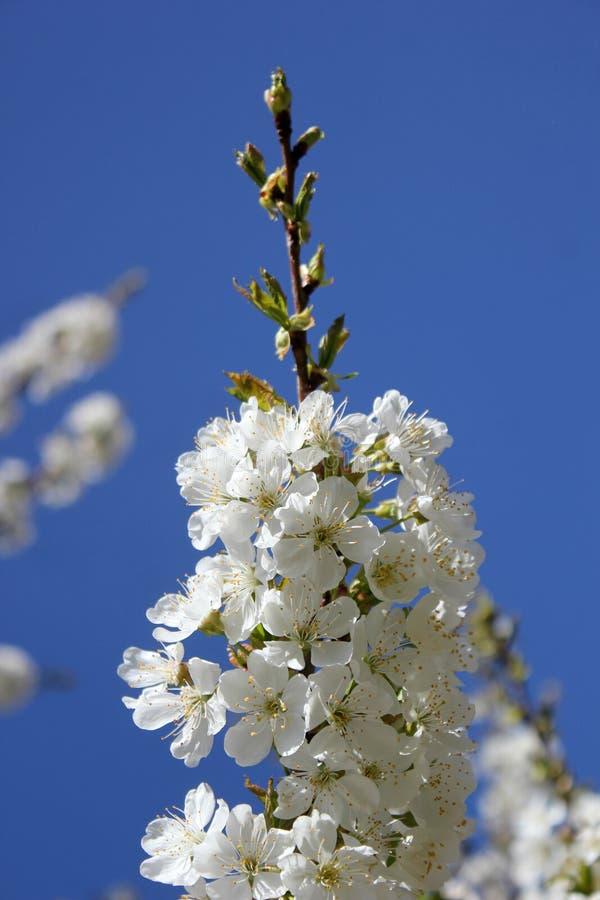 Kwitnie drzewa, ogr?d, biali kwiaty, przeciw niebu obraz stock