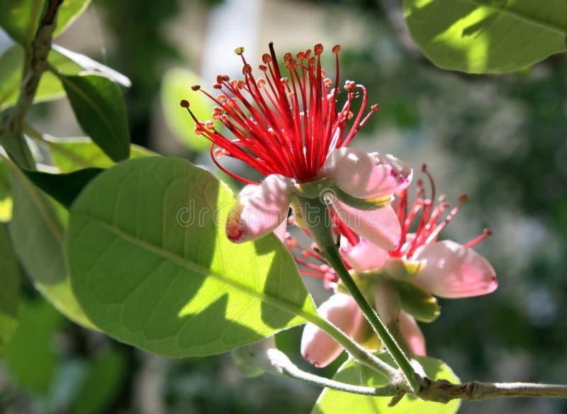 Kwitnie Feijoa (Acca sellowiana) obraz stock