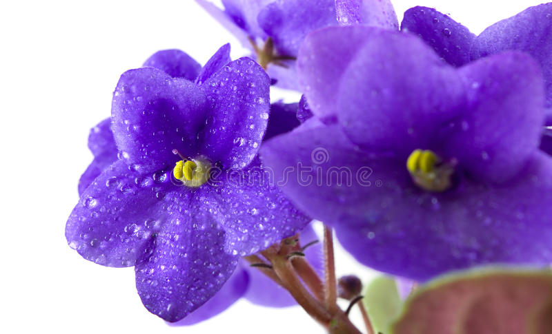 kwitnie fiołka zdjęcie stock