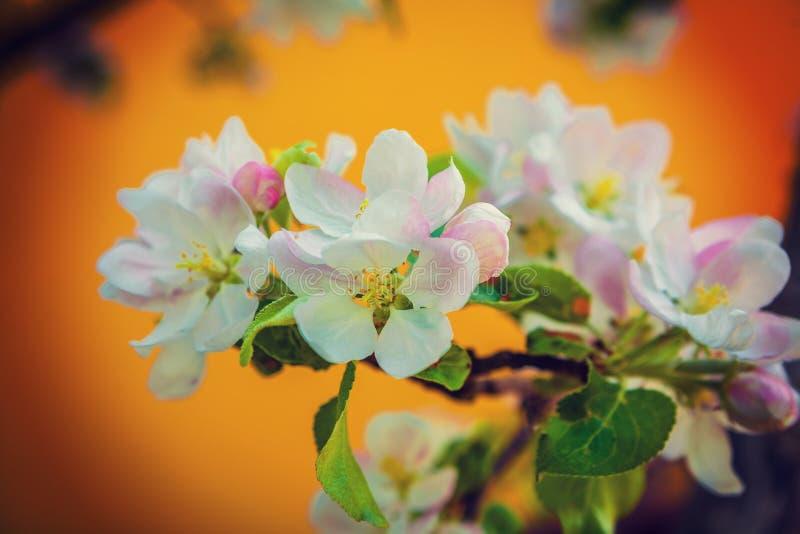 Kwitnie fo kwitnie jabłoni instagram przełaz zdjęcie stock