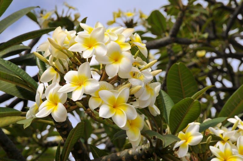 kwitnie frangipani zdjęcie royalty free