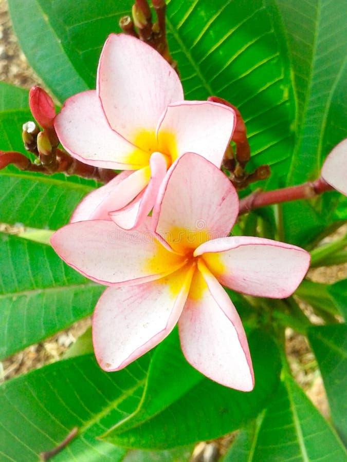 Download Kwitnie frangipani zdjęcie stock. Obraz złożonej z menchie - 53781732