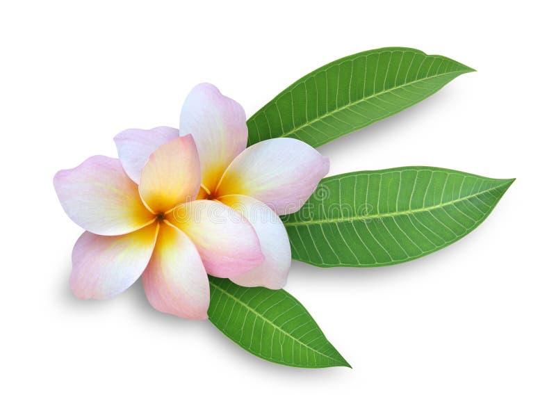 kwitnie frangipani plumeria dwa zdjęcia stock