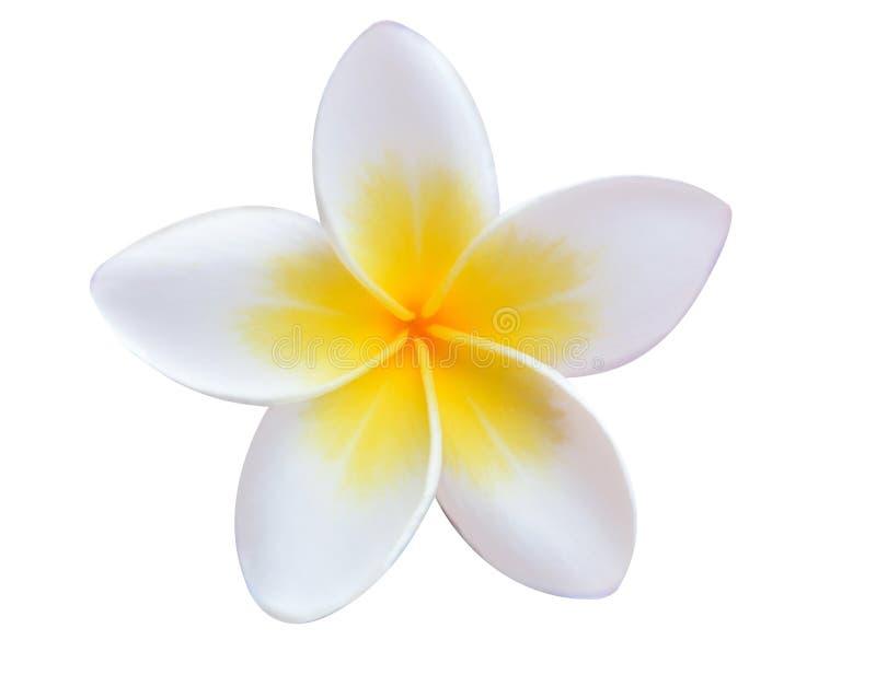 kwitnie frangipani tropikalnego zdjęcia royalty free