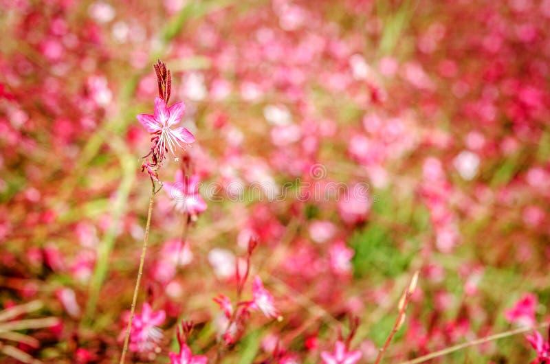 Kwitnie Gaur Lindhammer przeciw tłu dużo ten sam kwiaty obrazy stock