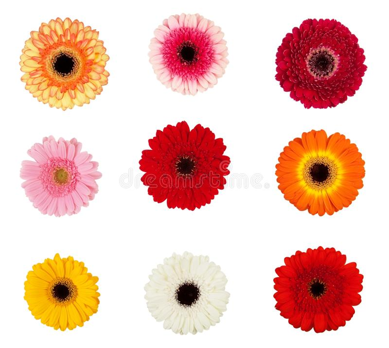 kwitnie gerbera zdjęcie stock